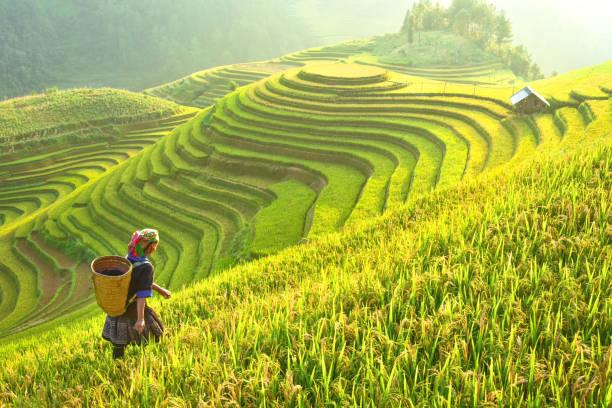 Hình ảnh cánh đồng lúa bậc thang đẹp