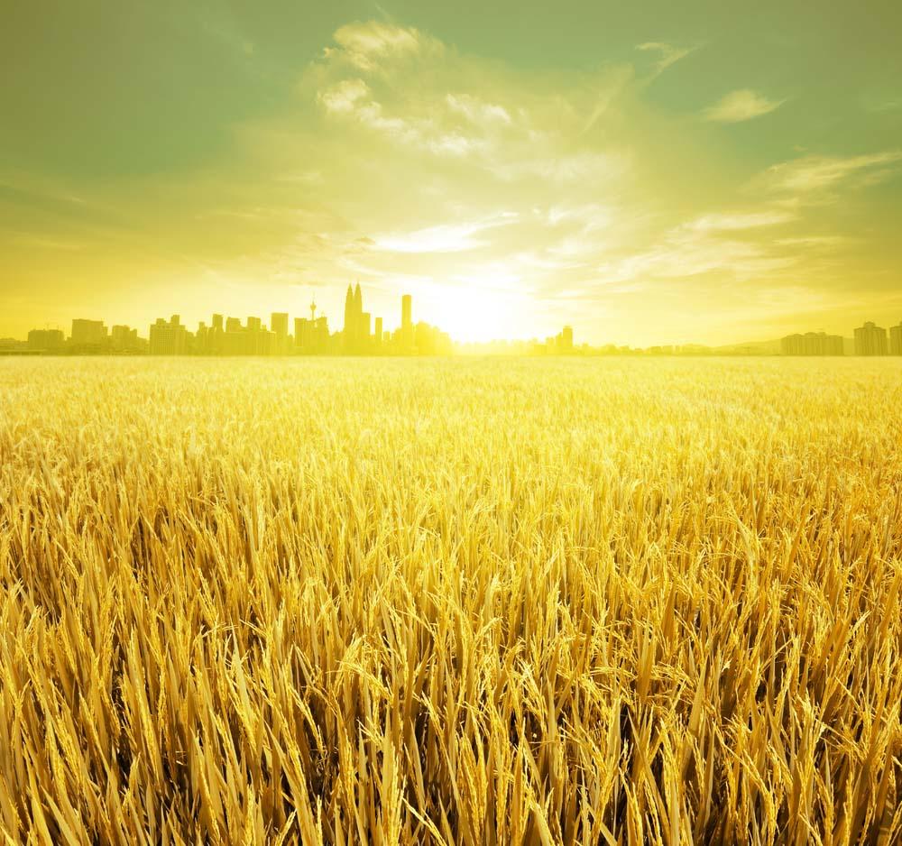 Hình ảnh cánh đồng lúa chín đẹp