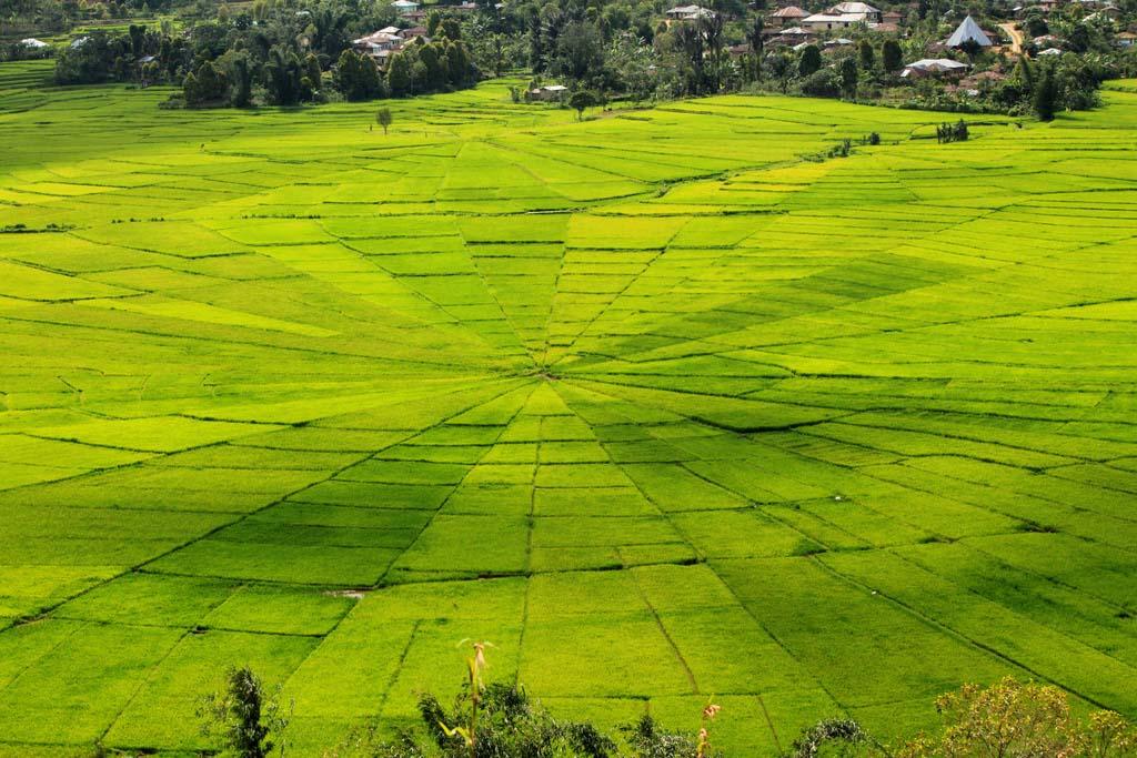 Hình ảnh cánh đồng lúa độc đáo