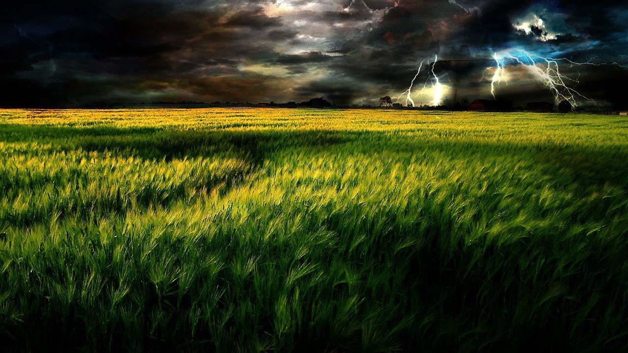 Hình ảnh cánh đồng lúa mạch đẹp
