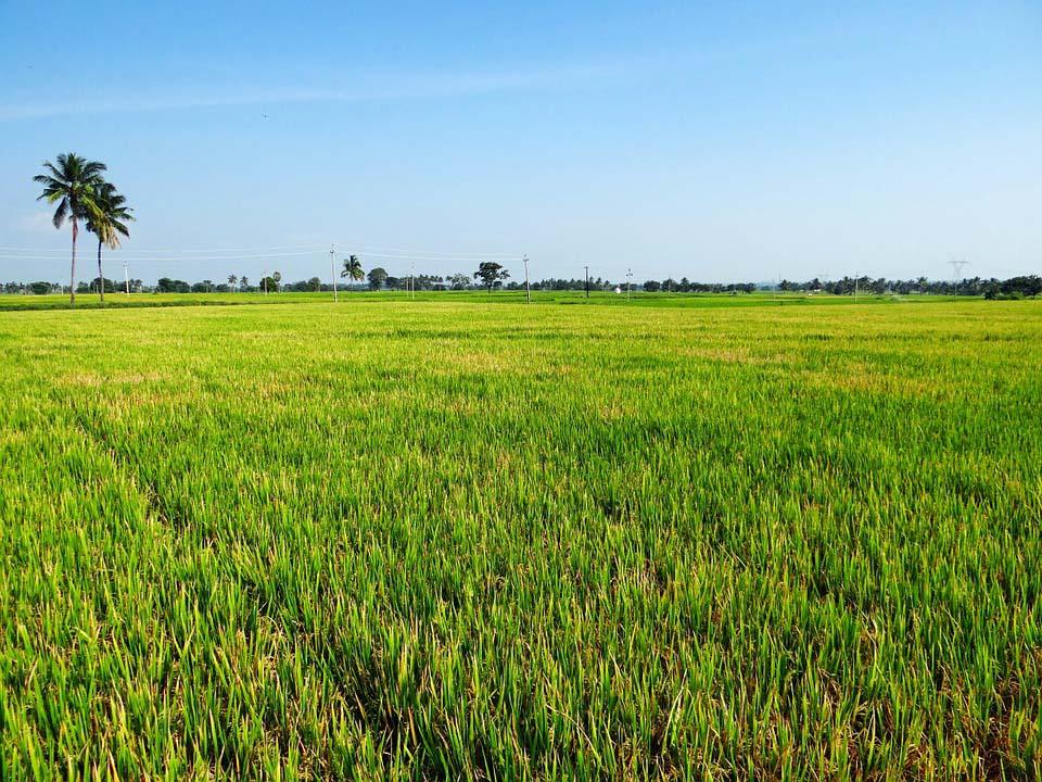 Hình ảnh cánh đồng lúa mênh mông đẹp