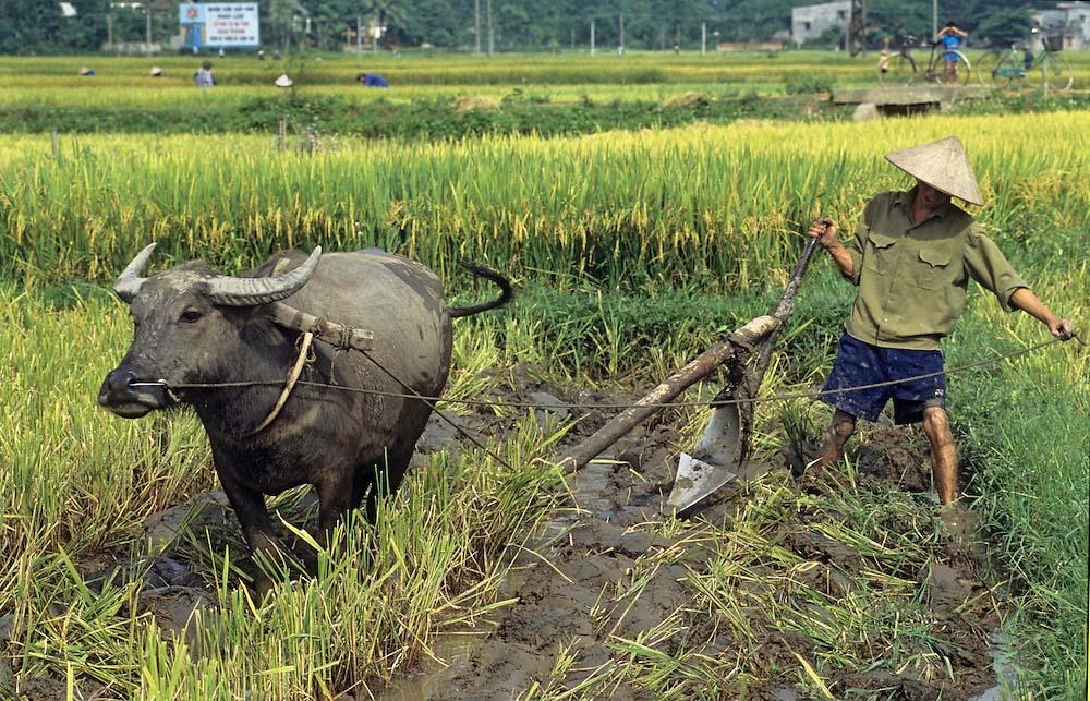 Hình ảnh cánh đồng lúa Việt Nam