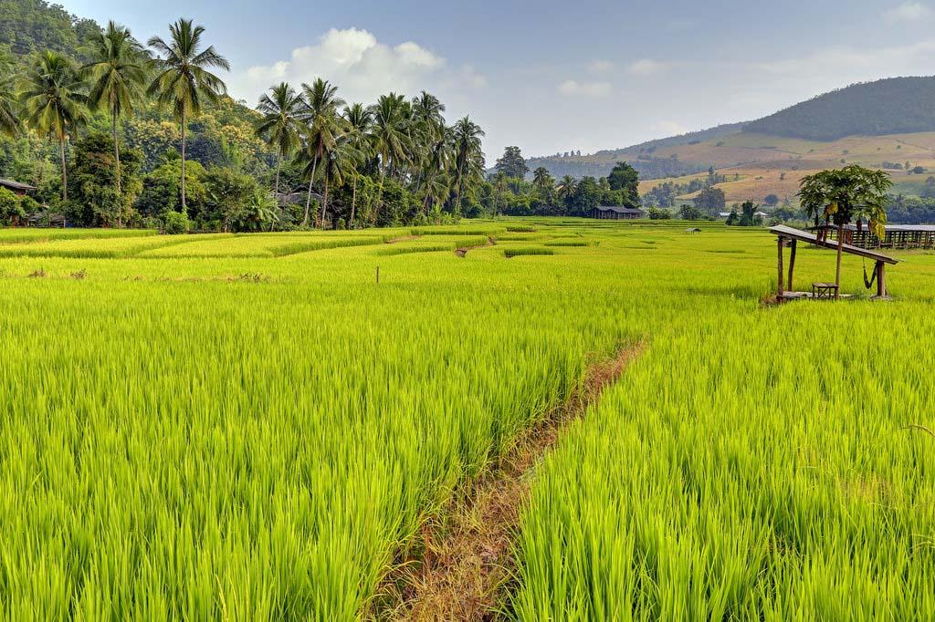 Hình ảnh cánh đồng lúa xanh đẹp