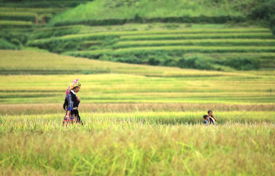 Hình ảnh cánh đồng lúa