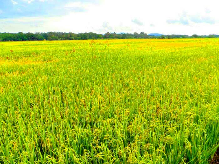 Hình ảnh đẹp cánh đồng lúa bát ngát