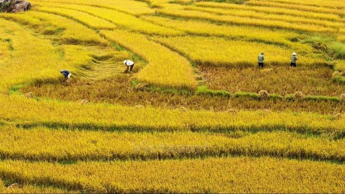Hình ảnh đẹp cánh đồng lúa đang gặt