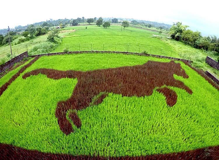 Hình ảnh đẹp cánh đồng lúa độc đáo