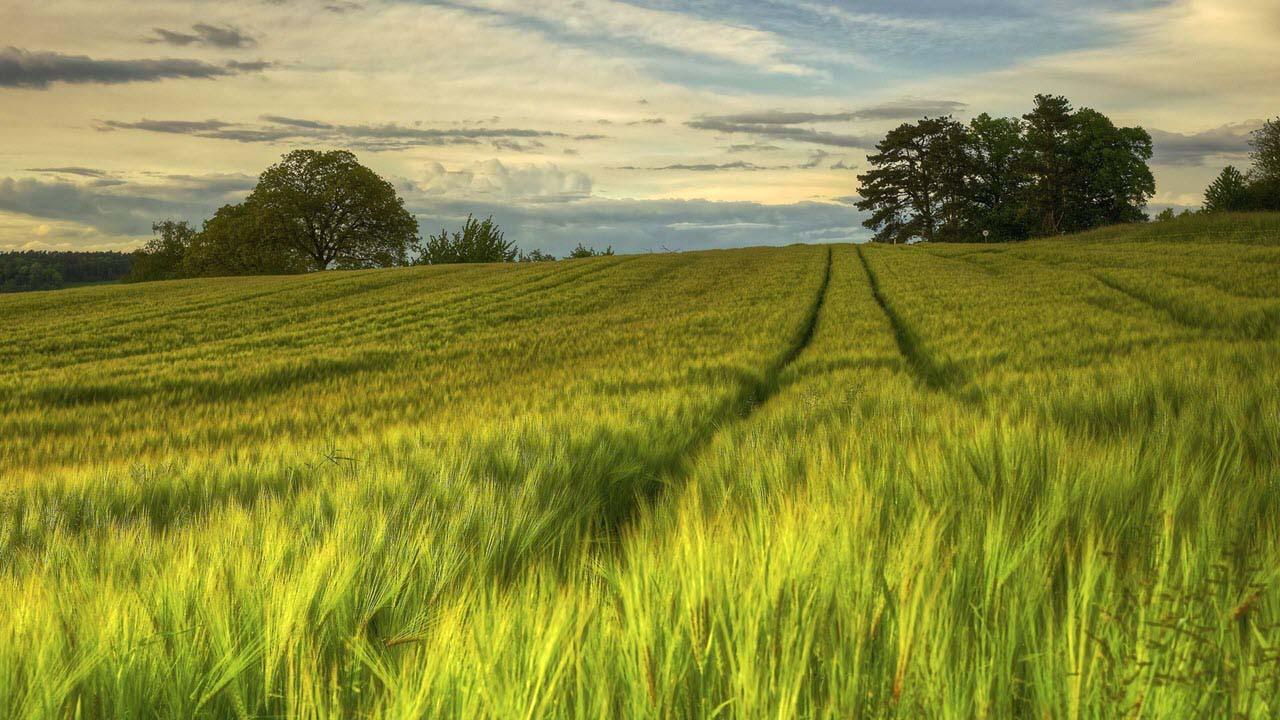 Hình ảnh đẹp cánh đồng lúa mạch mênh mông