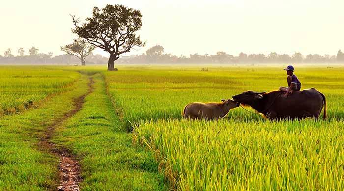 Hình ảnh đẹp cánh đồng lúa và con trâu
