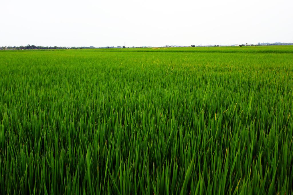 Hình ảnh đẹp cánh đồng lúa xanh bát ngát