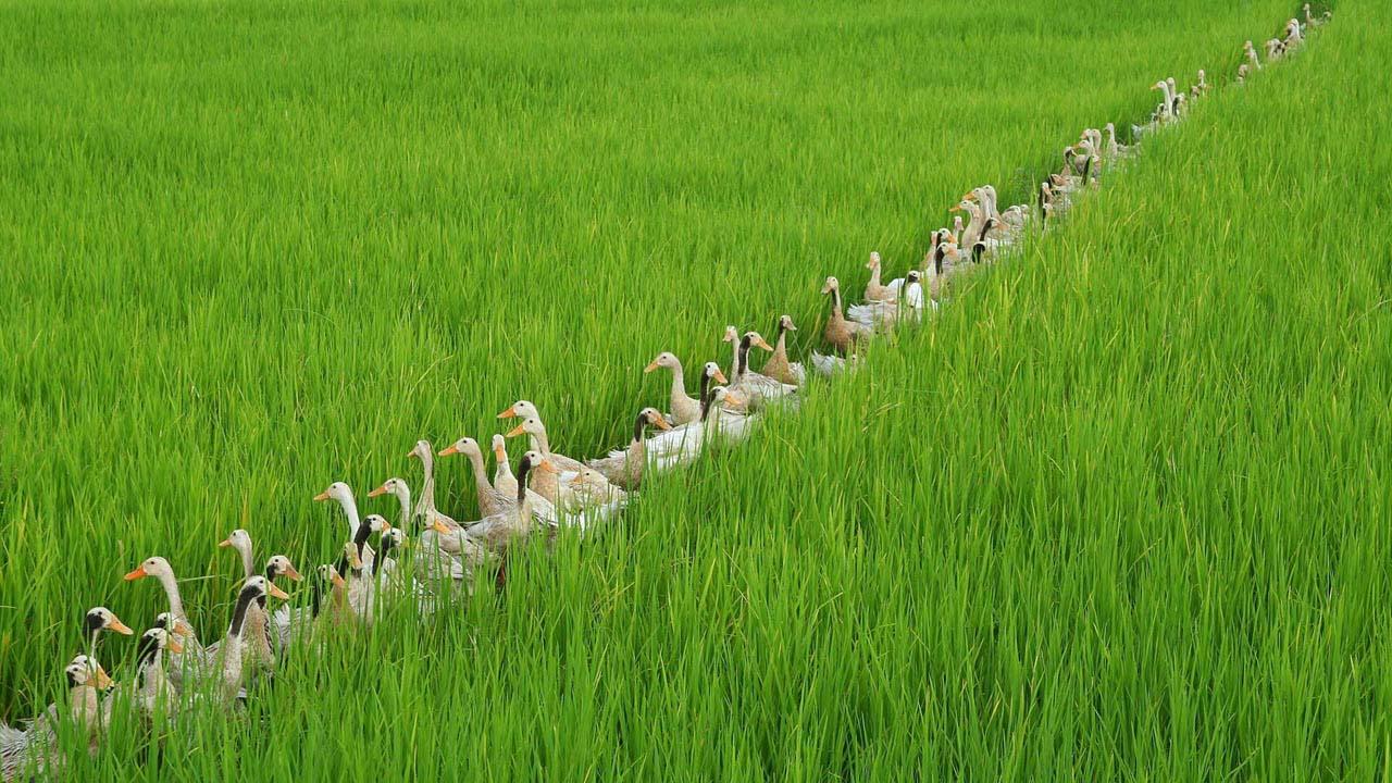 Hình ảnh đẹp đàn vịt bên cánh đồng lúa