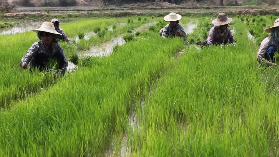 Hình ảnh đẹp người dân bên cánh đồng lúa