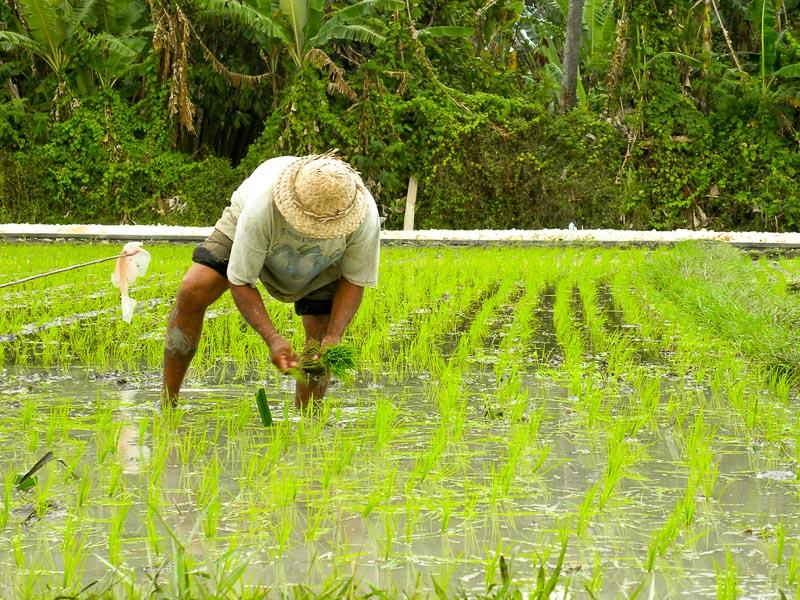 Hình ảnh đẹp người dân cấy lúa