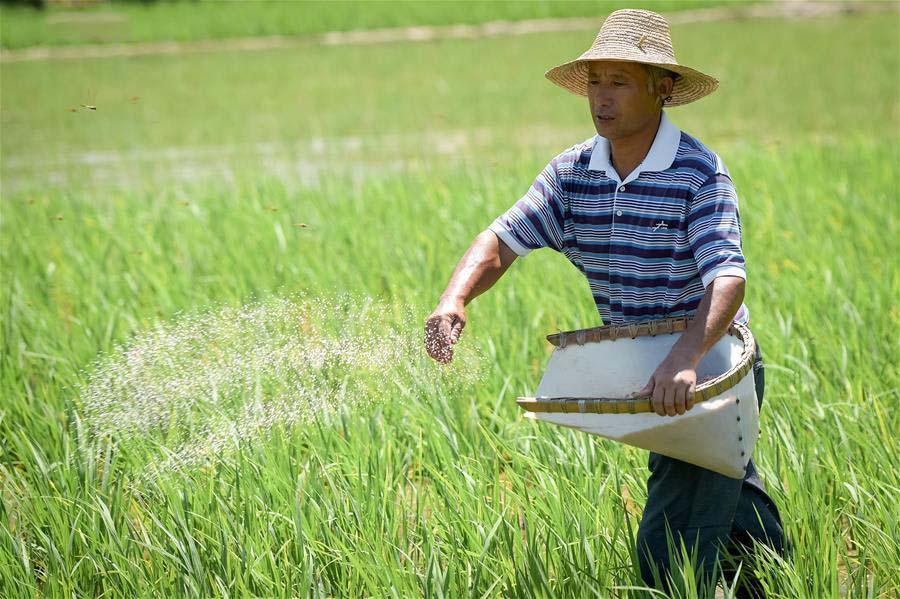 Hình ảnh đẹp người dân chăm sóc lúa trên cánh đồng