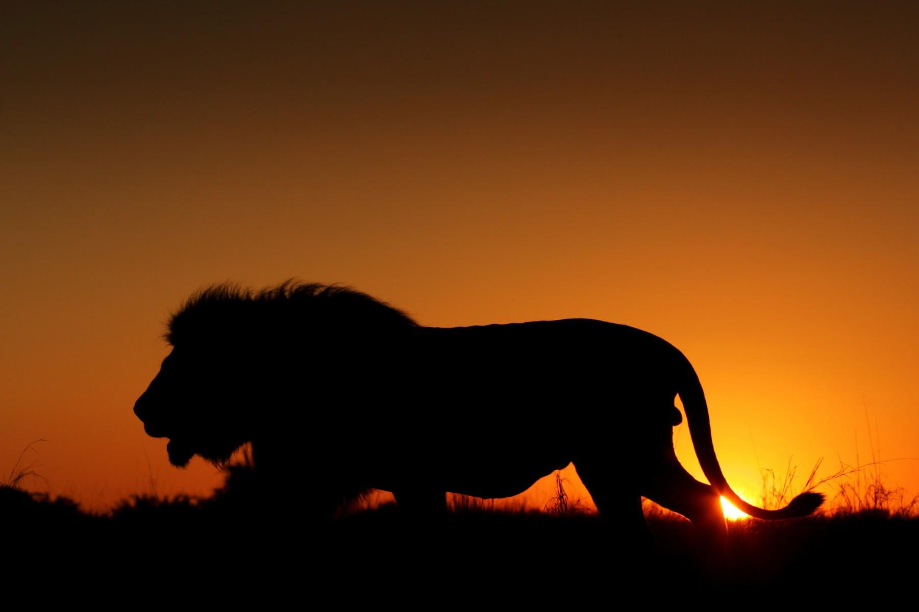 Ảnh đẹp sư tử thiên nhiên
