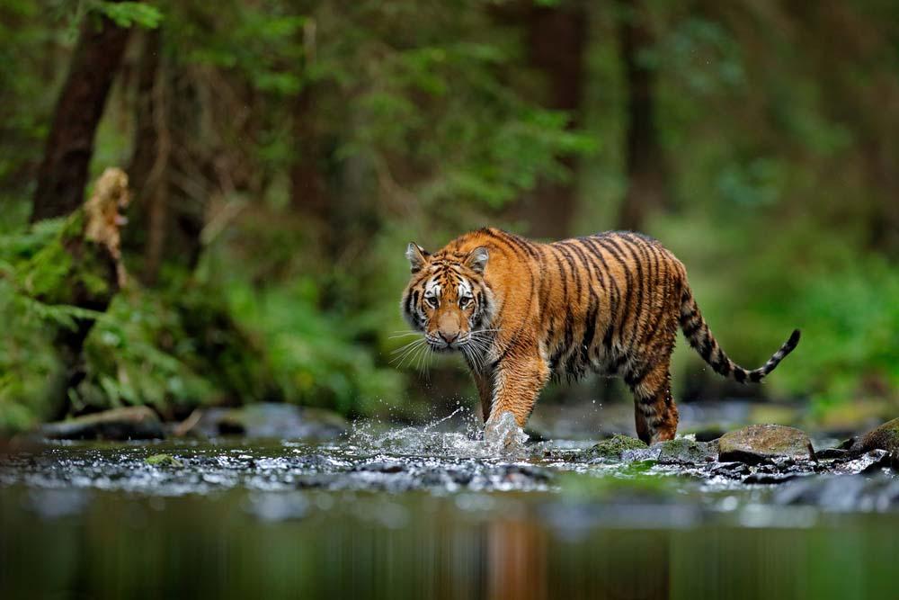Ảnh thiên nhiên loài hổ đẹp nhất