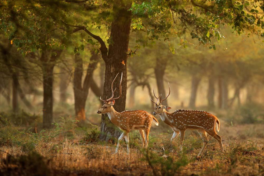 Hình ảnh thiên nhiên loài hươu đẹp nhất
