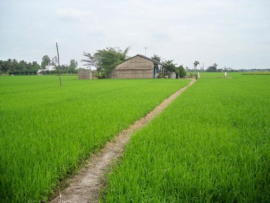 Ảnh đẹp cánh đồng Việt Nam