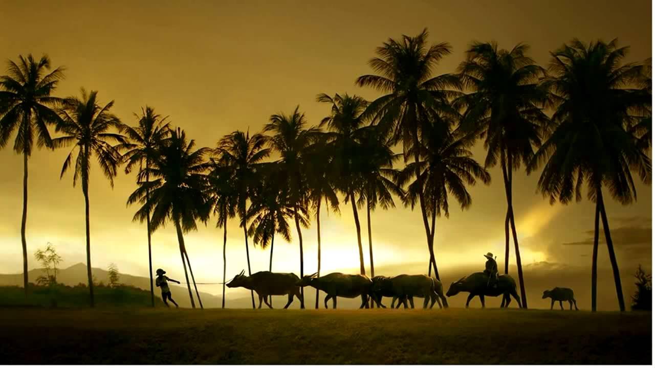 Hình ảnh đàn trâu ở quê hương Việt Nam