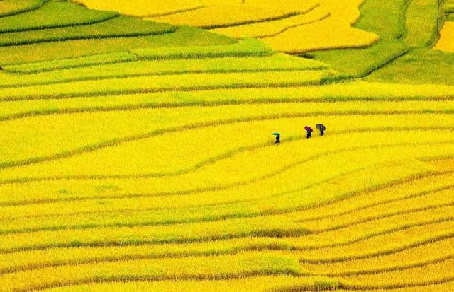 Ruộng bậc thang ở quê hương Việt Nam vào mùa gặt