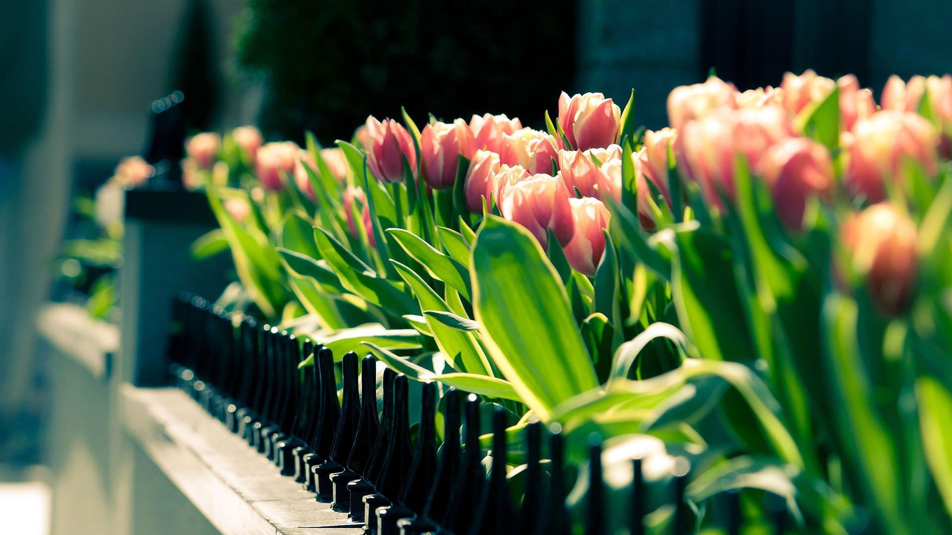 Best flower tulip wallpaper full HD