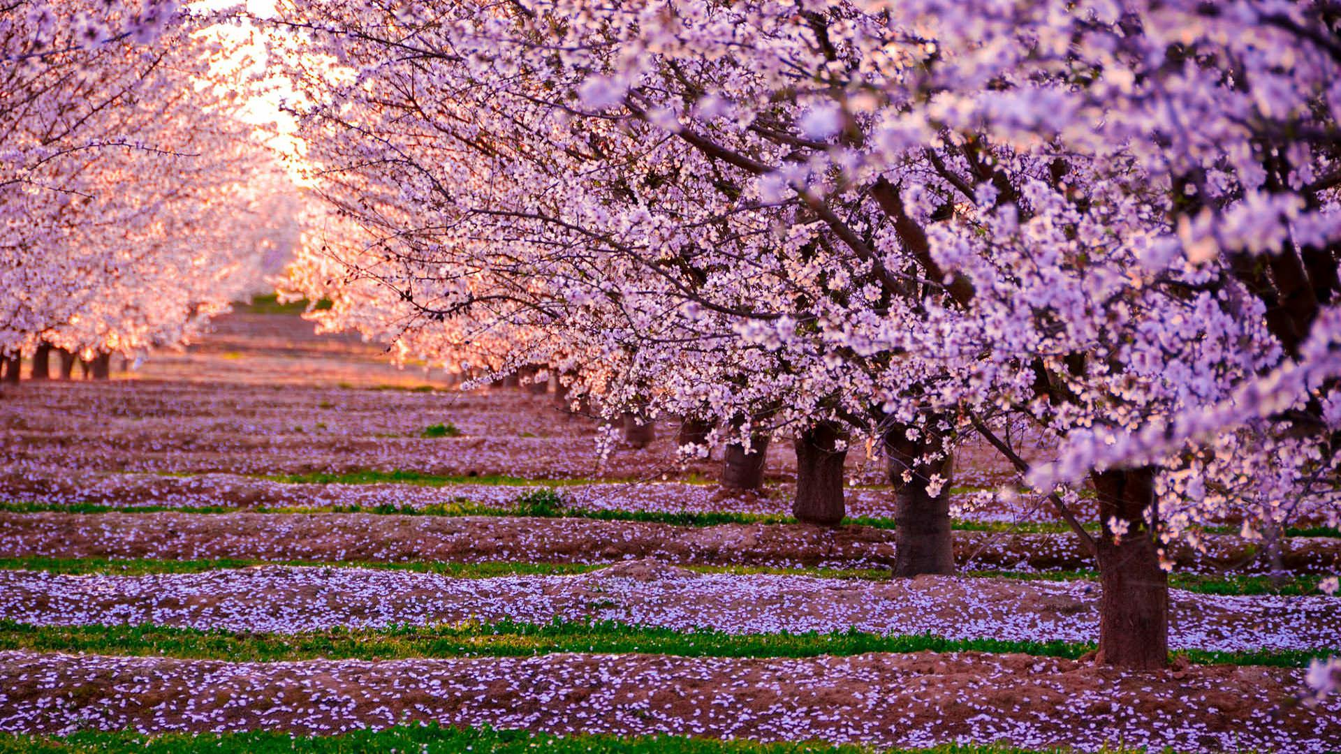 Cherry blossom wallpaper full HD