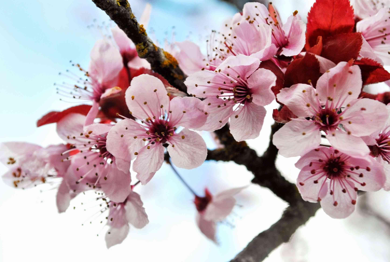Cherry blossom flower wallpaper