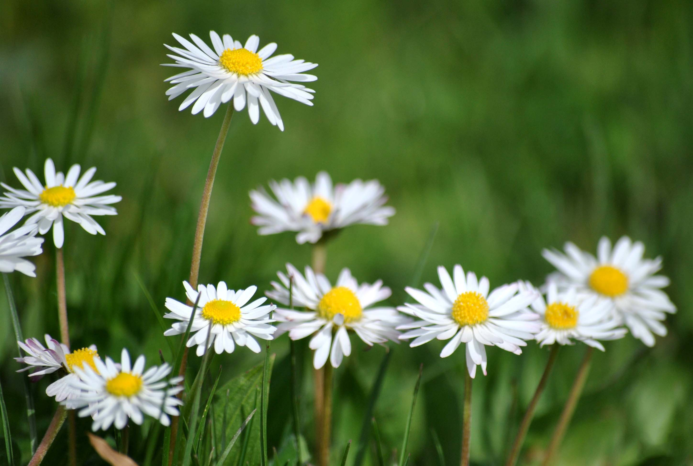 Daisy flower wallpaper