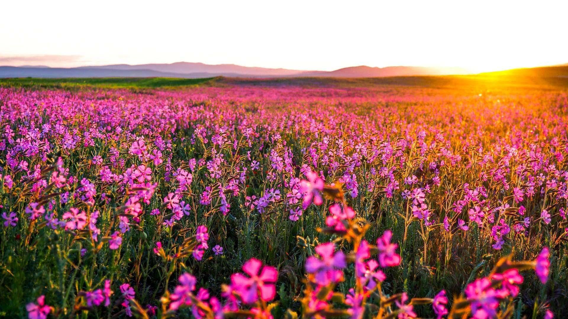 Flower field wallpaper HD