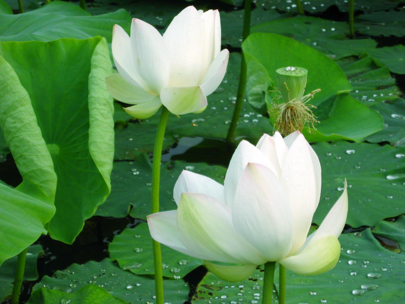 White lotus flower wallpaper