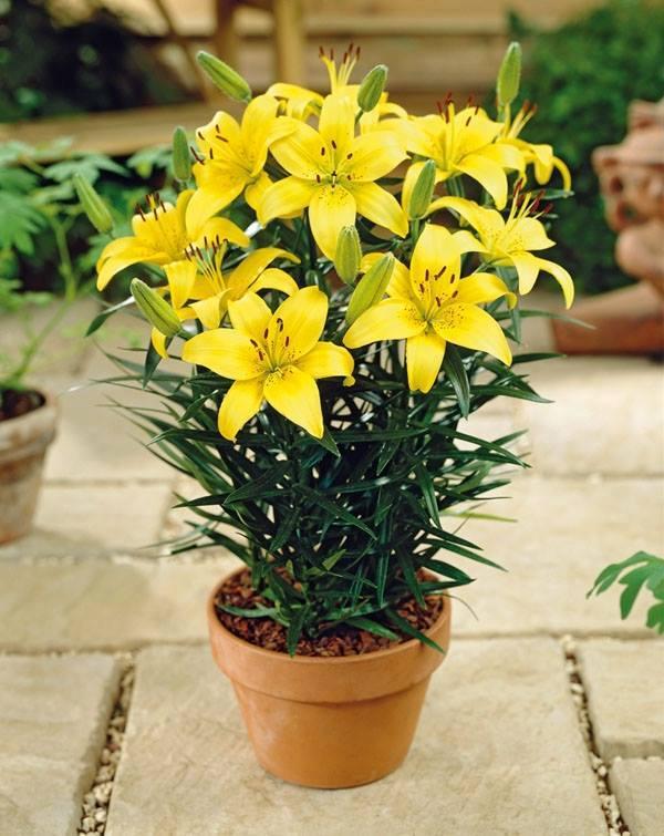 Hình ảnh chậu Hoa ly vàng đẹp nhất