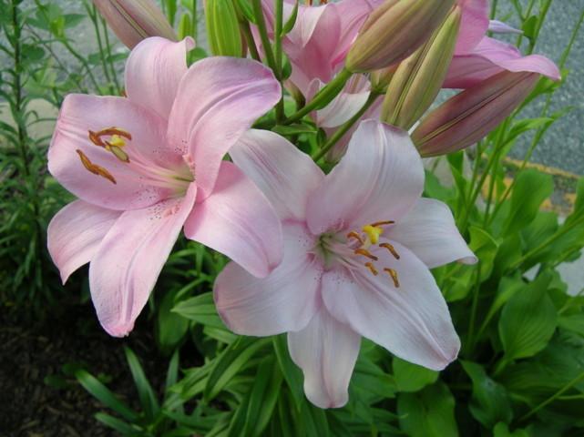 Hình ảnh hoa li đẹp nhất