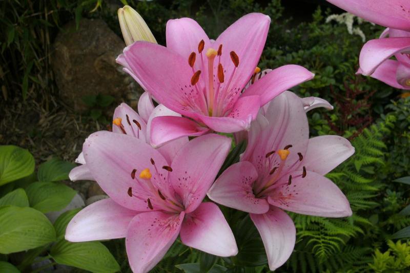 Hình ảnh hoa li hồng rực rỡ và đẹp nhất cho bạn gái