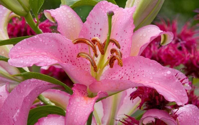 Hình ảnh hoa Ly đẹp nhất