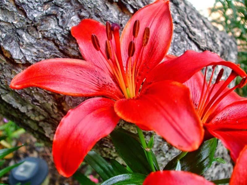 Hình ảnh hoa ly đỏ đẹp nhất