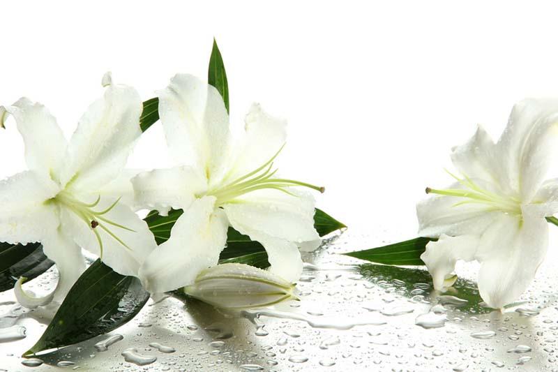 Hình ảnh hoa Ly khoe sắc trong mưa đẹp nhất