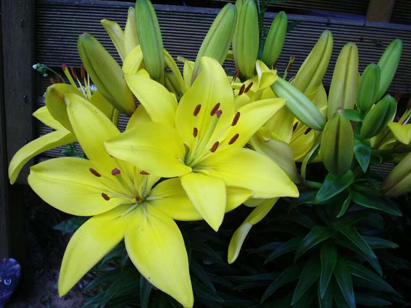 Hình ảnh hoa Ly vàng ấn tượng nhất