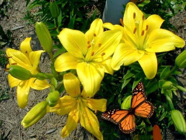 Hoa ly vàng khoe sắc trong nắng hình ảnh nổi bật và đẹp nhất