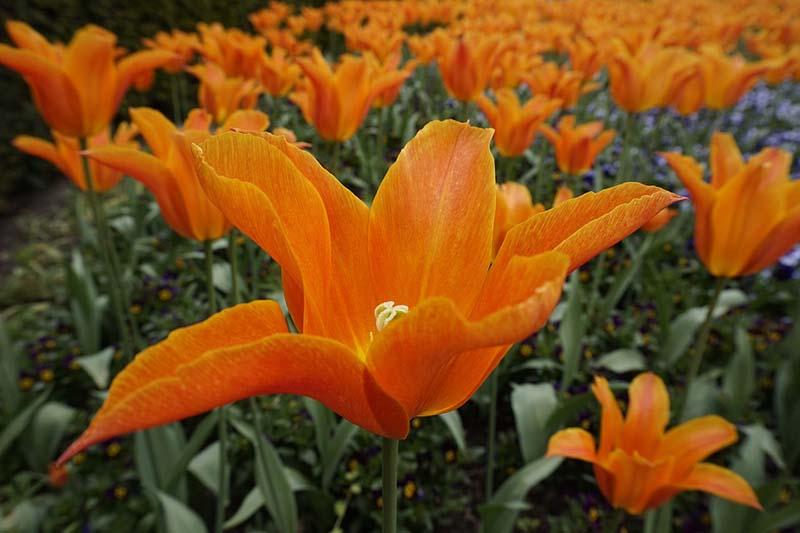 Những hình ảnh hoa ly da cam đà lạt đẹp mê hồn