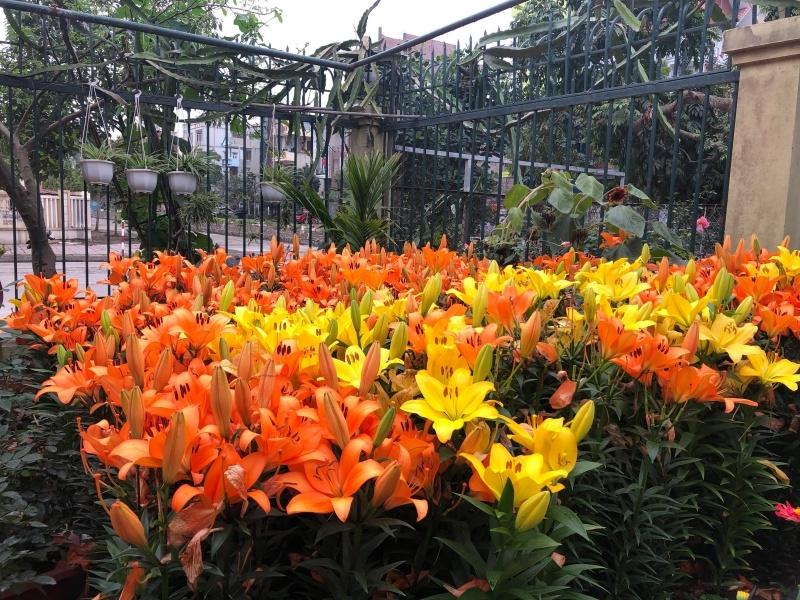 Tổng hợp hình ảnh khu vườn hoa Ly màu vàng rực rỡ nhất