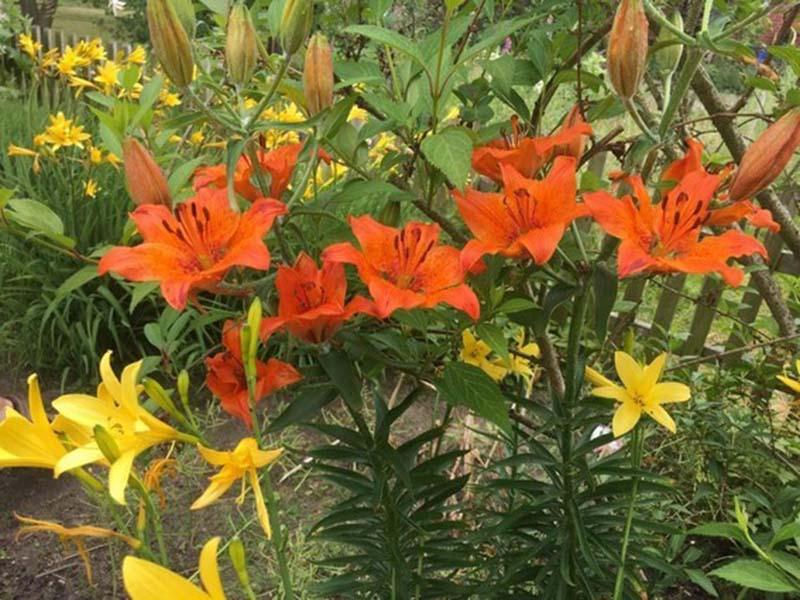 Tổng hợp hình ảnh vườn hoa ly đẹp nhất