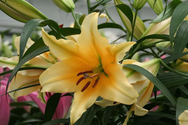 Tuyển chọn hoa ly vàng đà lạt đẹp