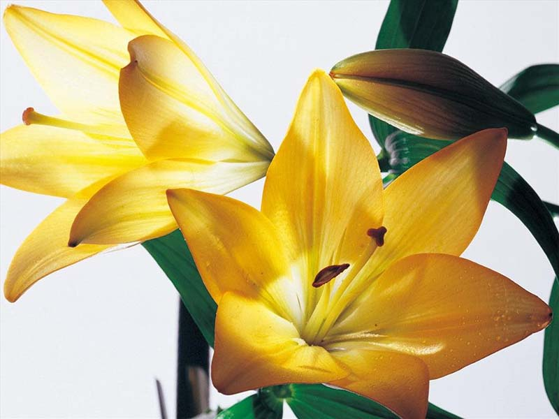 Tuyển chọn hoa ly vàng đẹp xuất sắc trong nắng vàng