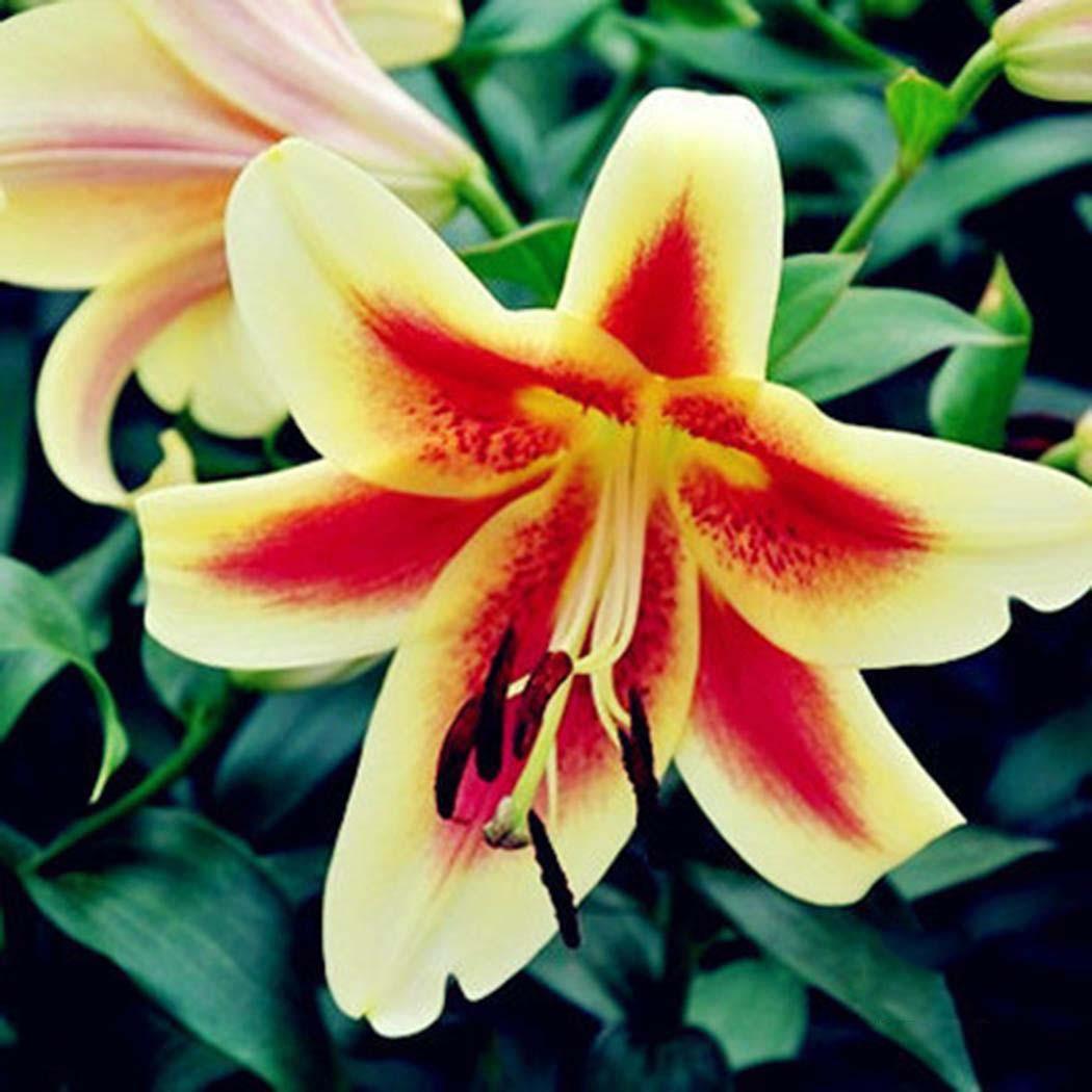 Tuyển chọn những hình ảnh hoa Ly vàng đà lạt đẹp nhất