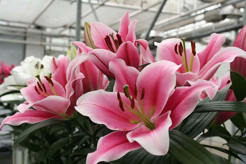 Tuyển chọn những hình ảnh lễ hội hoa Ly hồng đẹp nhất