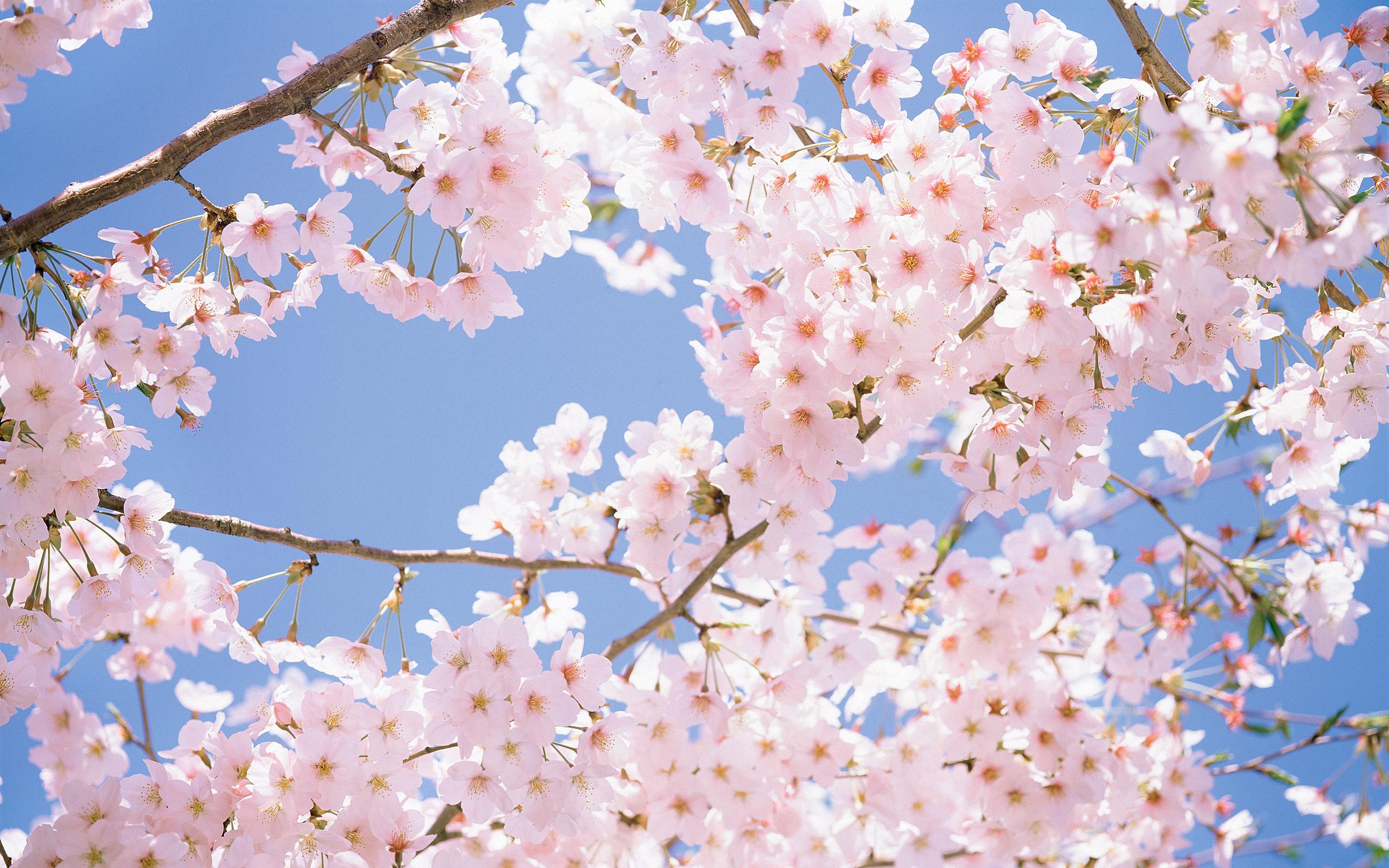 Bài hát về mùa hoa anh đào Nhật Bản