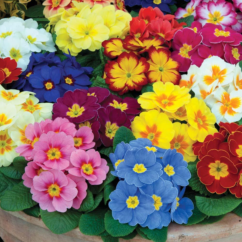 Bán hoa anh thảo đầy đủ màu sắc