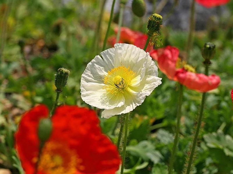 Bộ sưu tập hoa anh túc đẹp lung linh trong nắng hè rực rỡ
