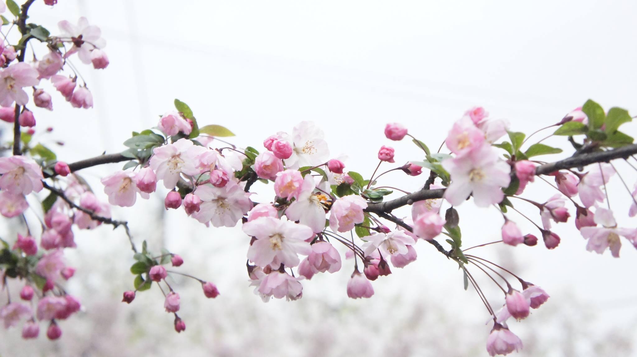 Cách gấp hoa anh đào Nhật bản