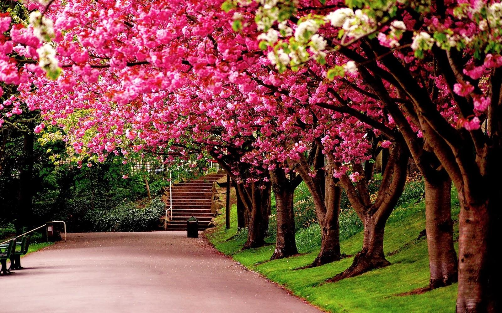 Cách trồng hoa anh đào Nhật bản